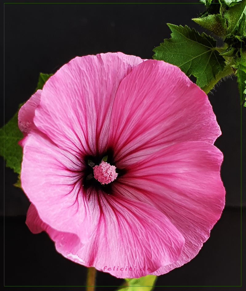 pink malve